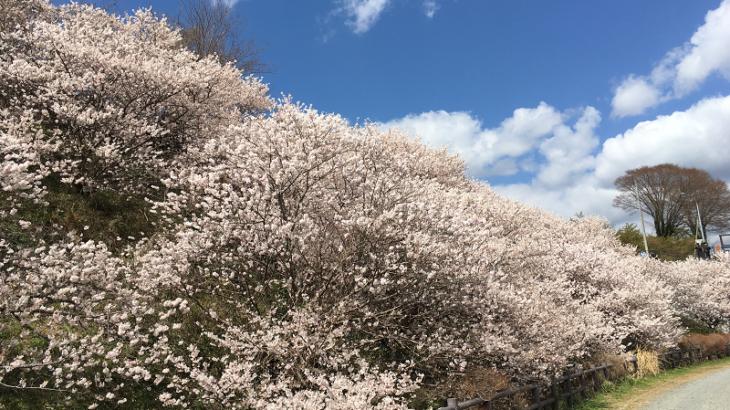 銘柄探訪[4901]富士フィルム[2502]アサヒGHD、早咲き桜「春めき」を観に足柄に出かけて参りました。